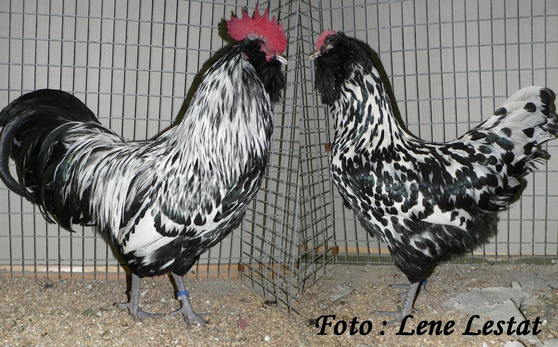 1,1 Thüringer Skæghøns – sølv sortplettet