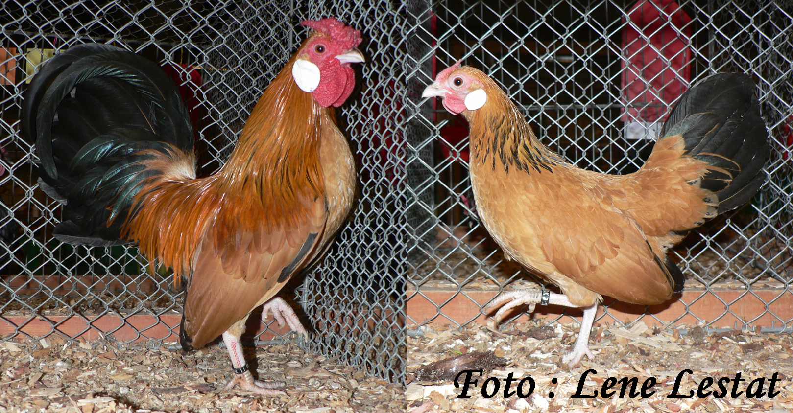1,1 bantam – gul sort columbia