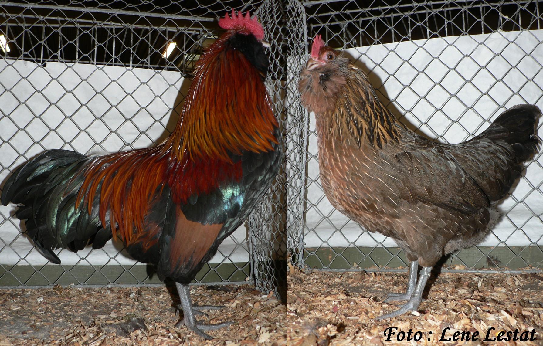 1,1 dv thüringer skæghøns – guldhalsetjpg