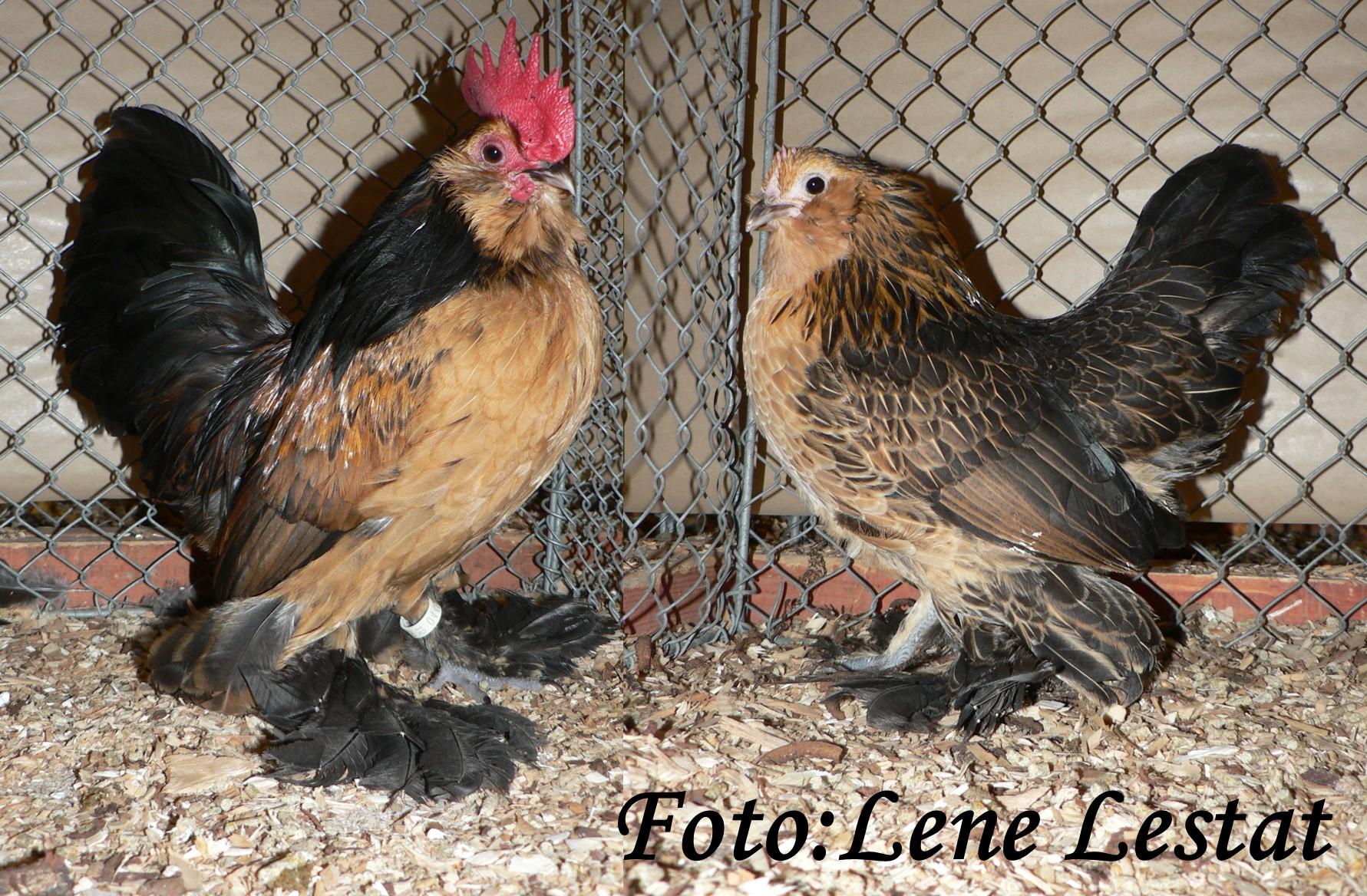 1,1 ukkelse skæghøns – guld sort vagtelfarvet – nyopdræt LU 2015