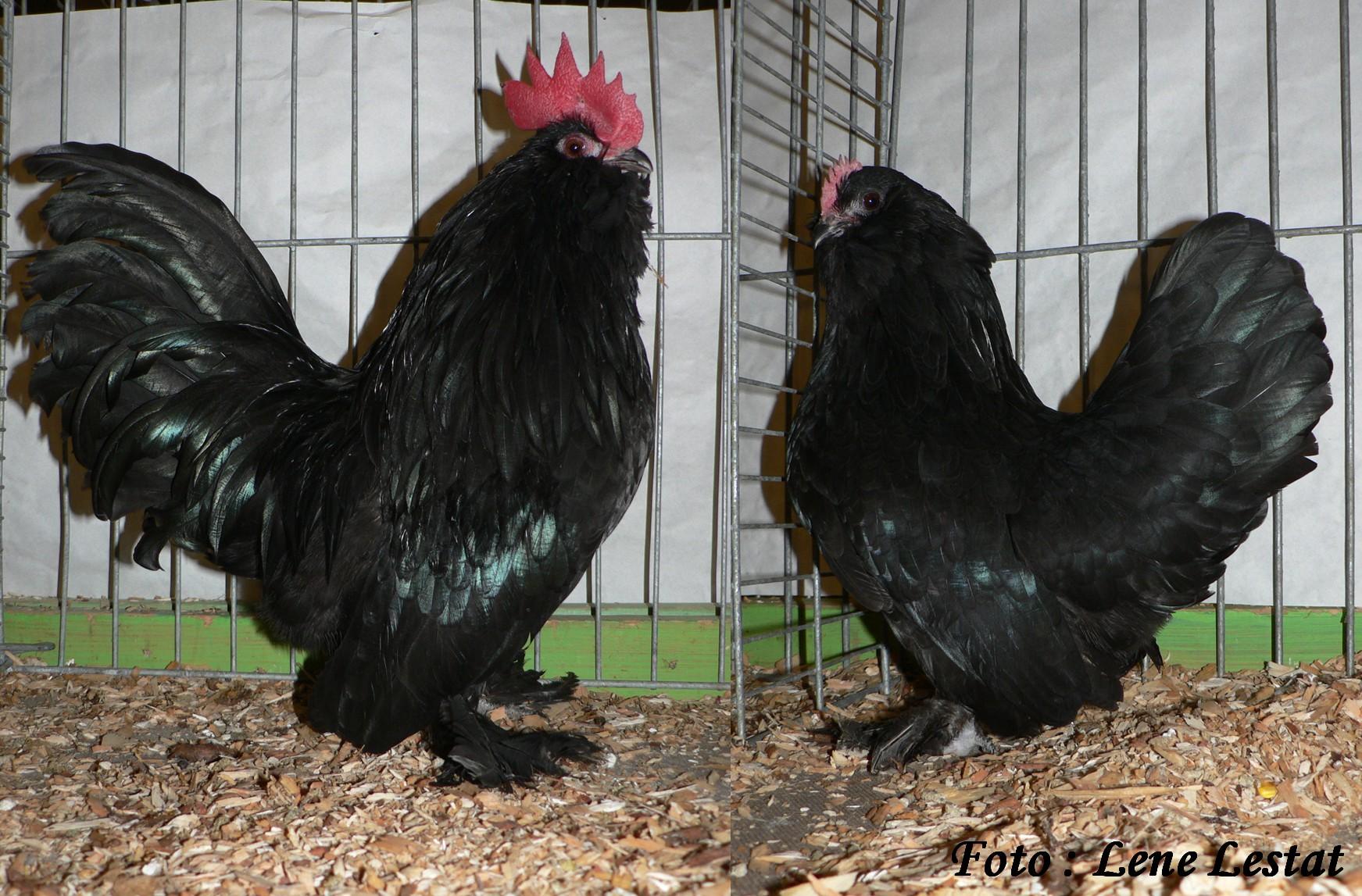 1,1 ukkelse skæghøns – sort
