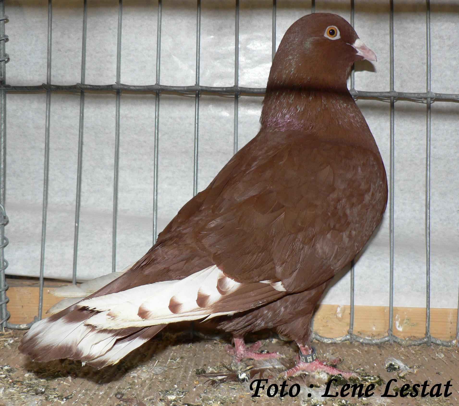 libanon due – rød