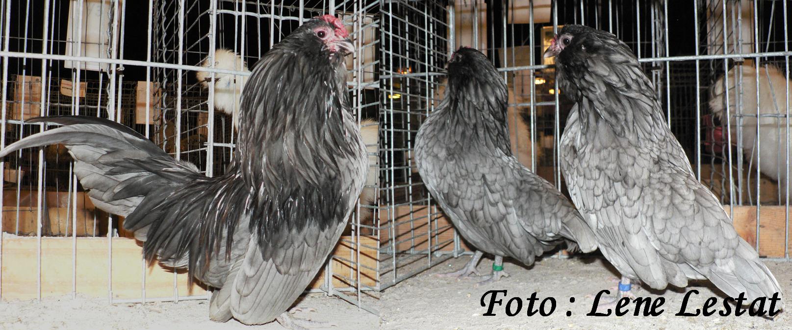1,1 antwerpner skæghøns – blå