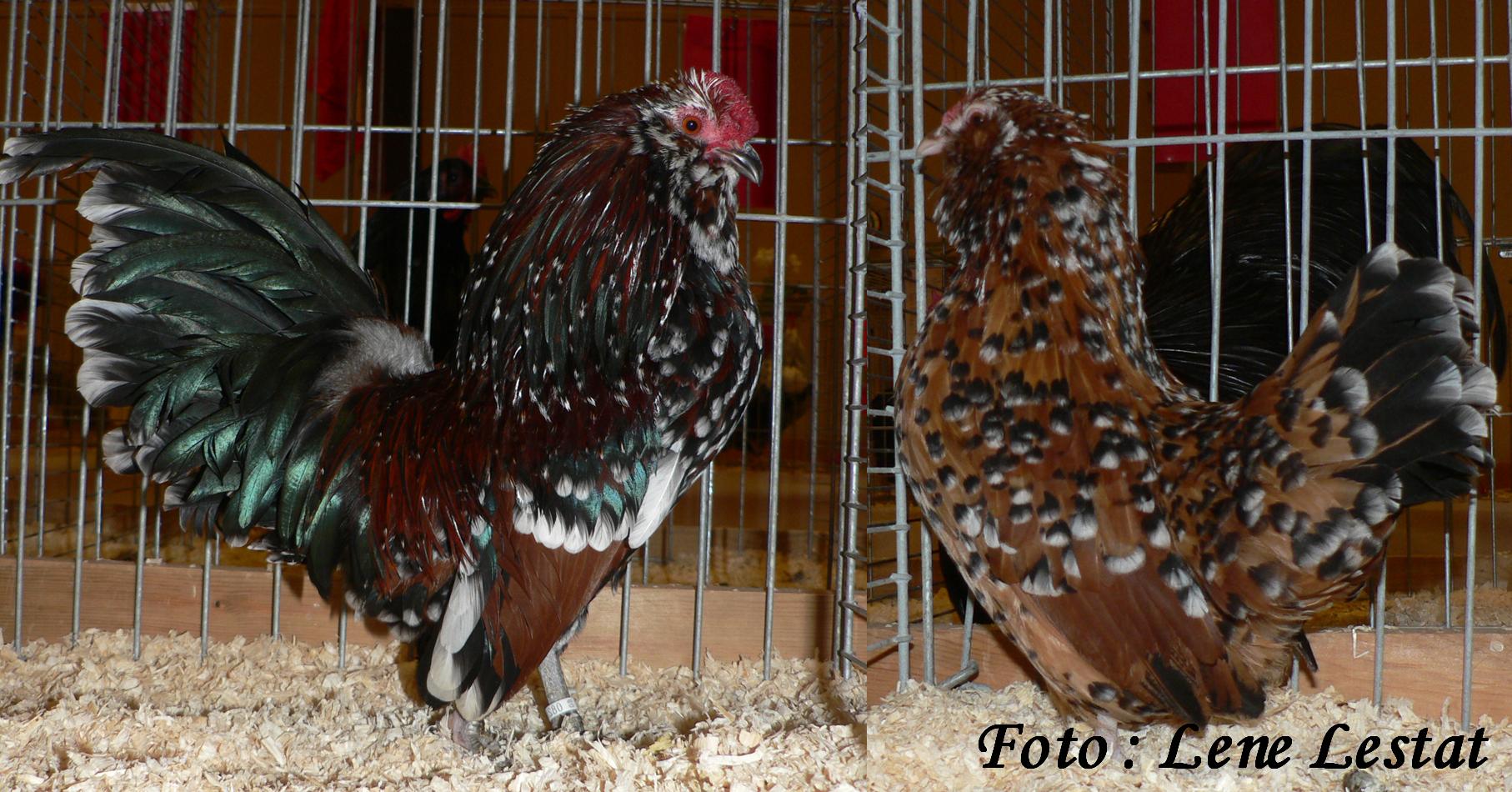 1,1 antwerpner skæghøns – brun sort porcelænsfarvet