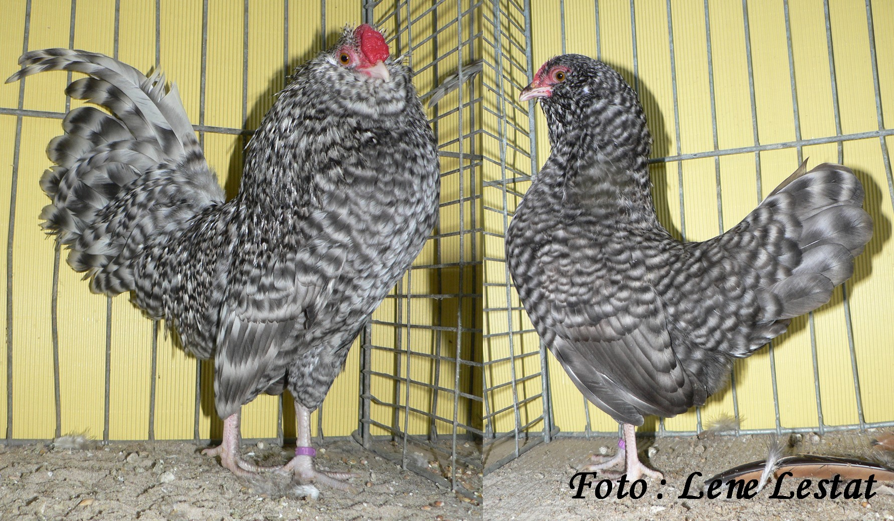 1,1 antwerpner skæghøns – gråstribet