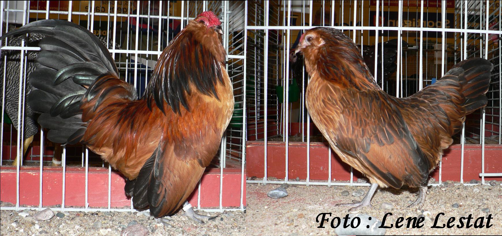 1,1 antwerpner skæghøns – guld vagtelfarvetpng