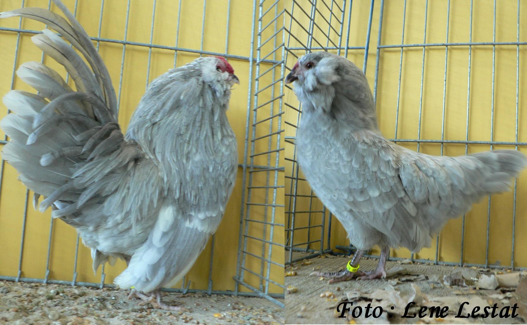 1,1 antwerpner skæghøns – perlegrå hvidplettet