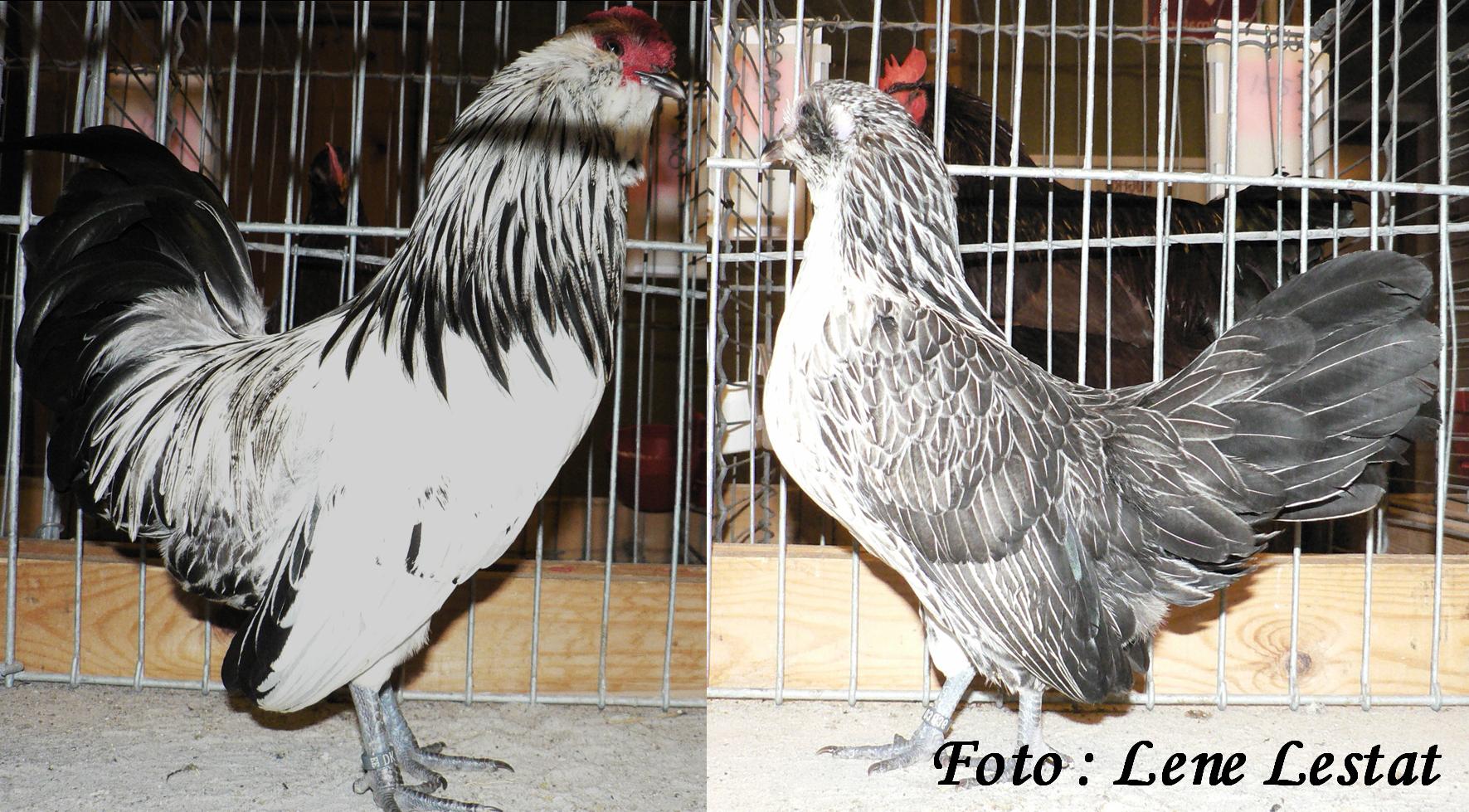 1,1 antwerpner skæghøns – sølv vagtelfarvetpng