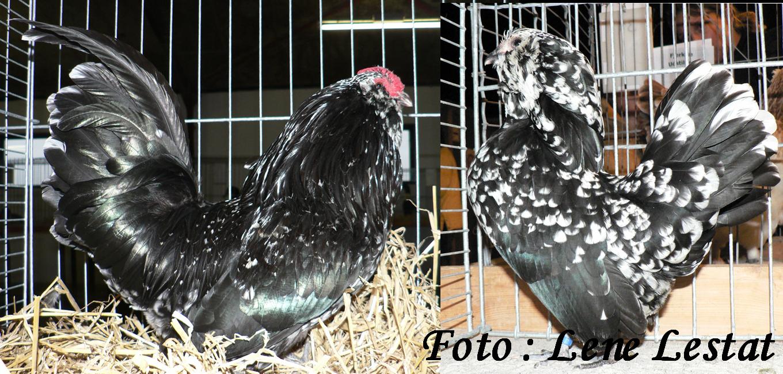 1,1 antwerpner skæghøns – sort hvidplettet