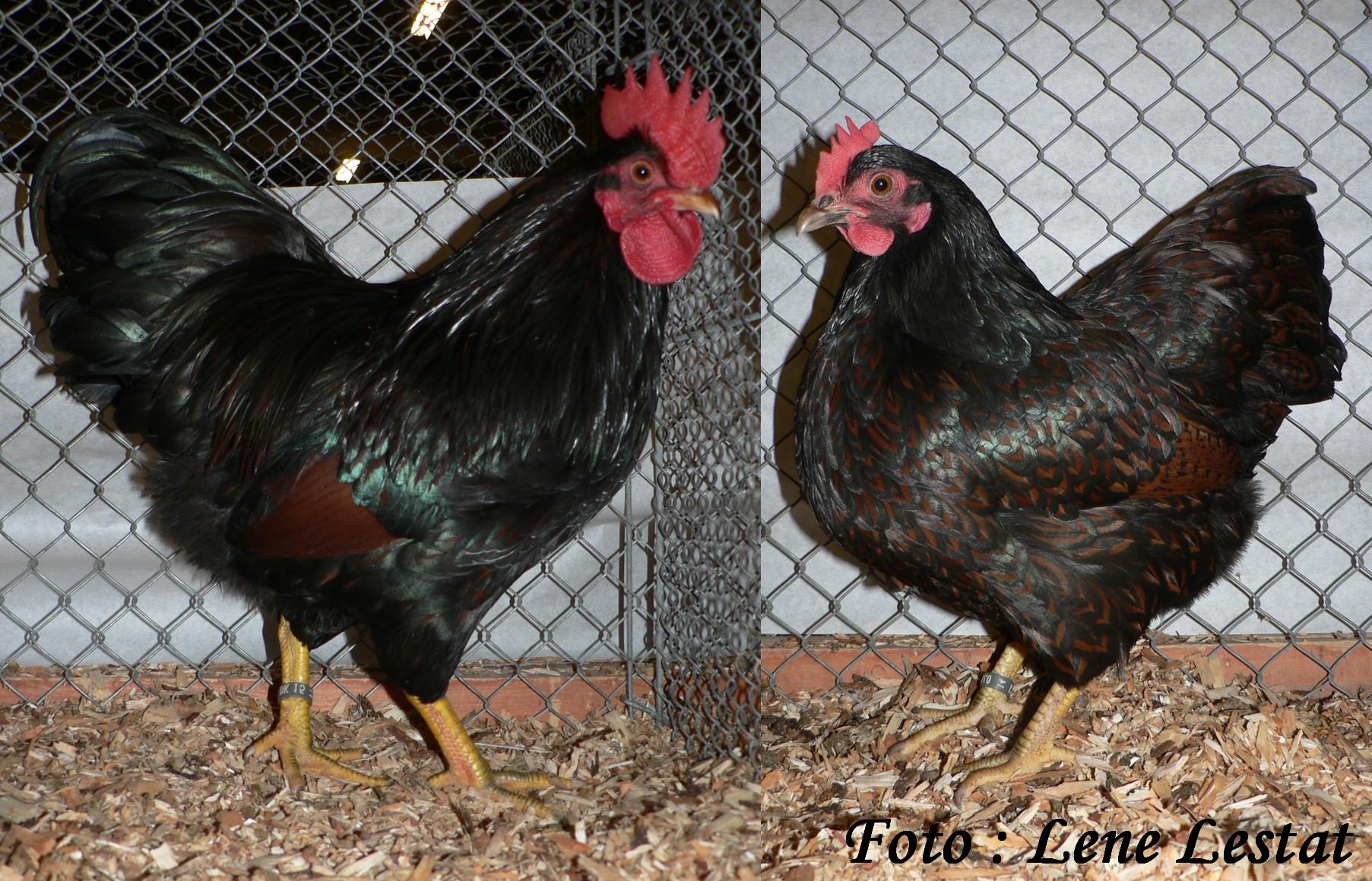 1,1 dv barnevelder – brun sort dobbeltrandet