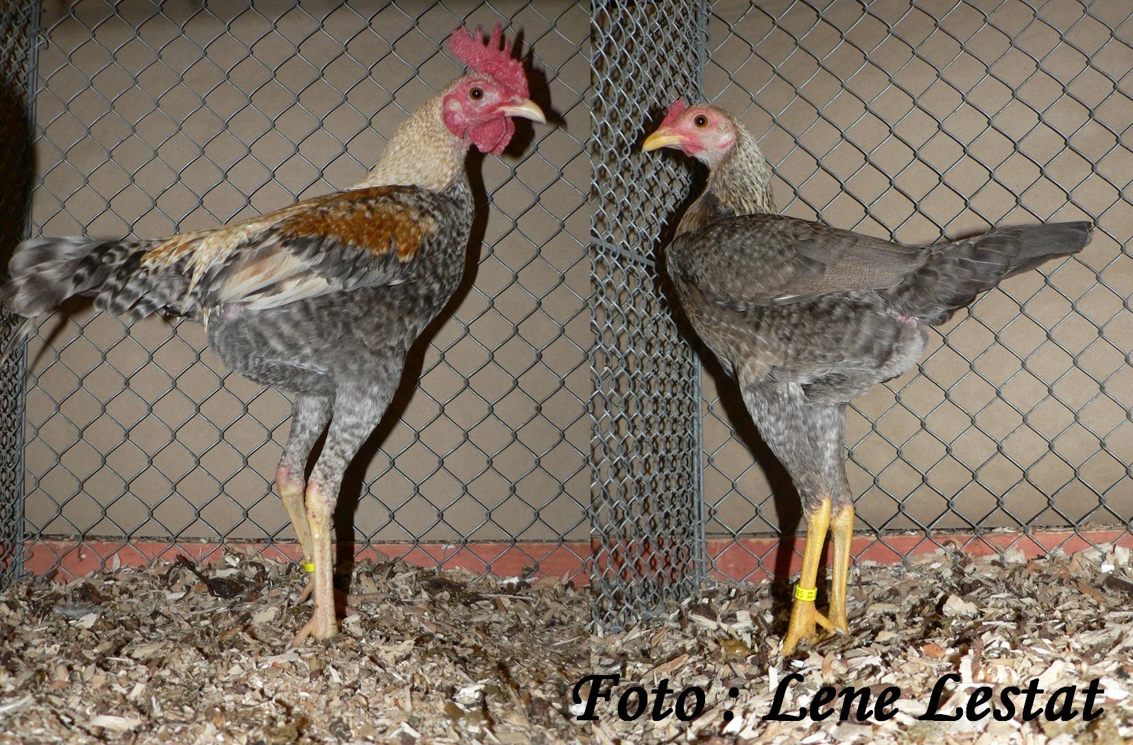 1,1 dv mod eng kamphøns dv – legbarfarvet