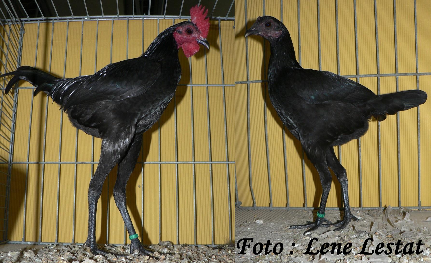 1,1 dv moderne eng dværgkamphøns – sort