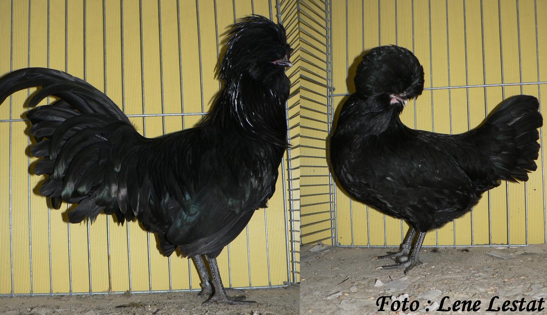 1,1 paduaner – sort jpg