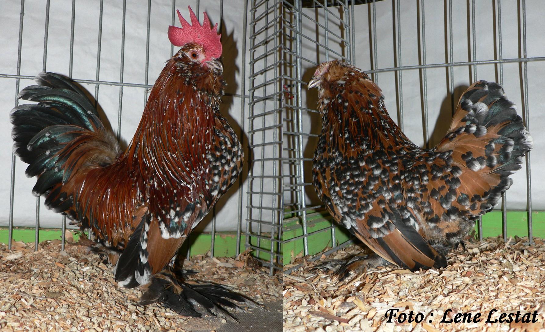 1,1 ukkelse skæghøns – guld sort porcelænsfarvet